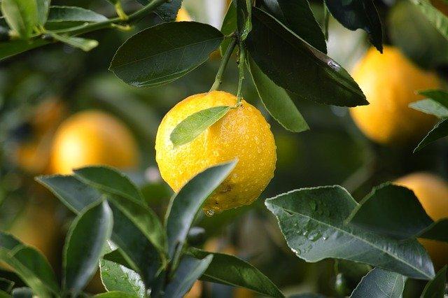plody citronovníku