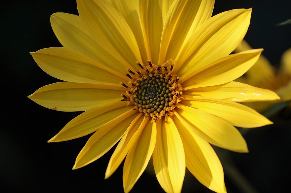 květ topinamburu
