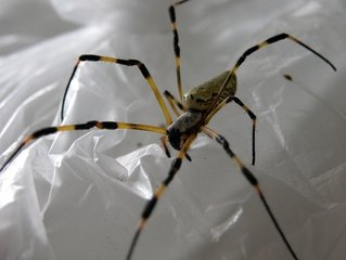 spider-on-a-pplastic-bag-1362421